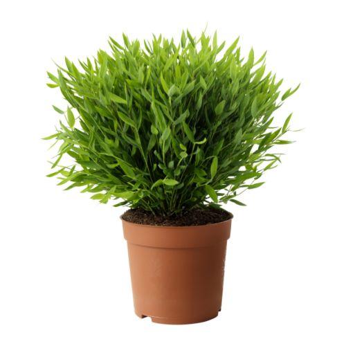 welche pflanze genau ist das ikea. Black Bedroom Furniture Sets. Home Design Ideas