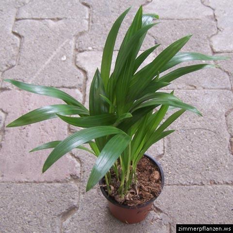 ist diese pflanze f r katzen giftig seite 2. Black Bedroom Furniture Sets. Home Design Ideas
